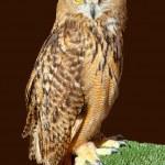 Bubo bubo eagle owl night bird — Stock Photo