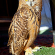 Bubo bubo eagle owl night bird - Foto Stock