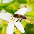 Bee pollinating orange blossom flower in spring — Stock Photo #10583064
