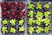Baby lettuce green and red plant sprouts in pots — Stock Photo