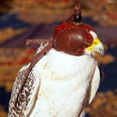 Bird falcon with falconry blind hood — Stock Photo