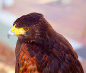 Aquila nipalensis steppe eagle profile — Stock Photo
