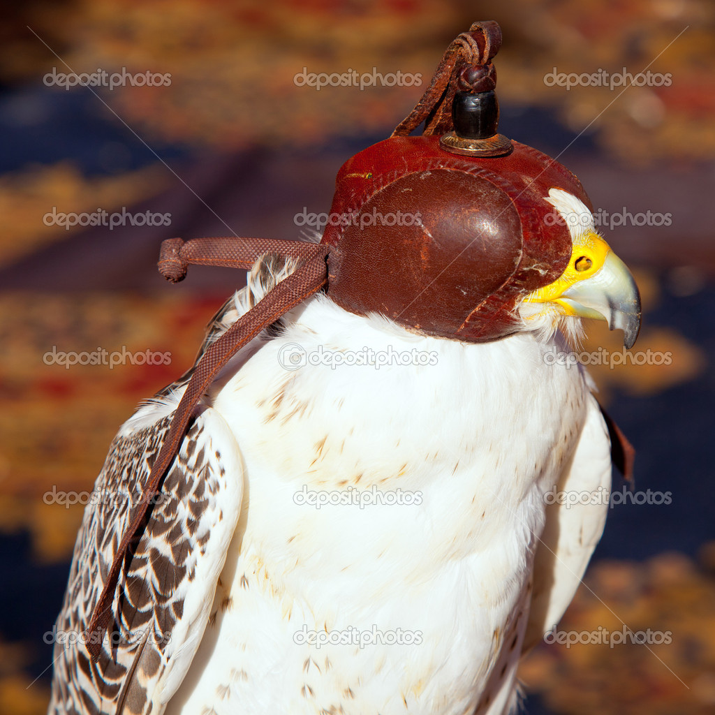 Bird falcon with falconry blind hood in brown leather — Stock Photo #10583026