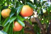Grapefruit — Stock Photo