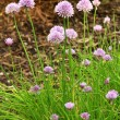 Stock Photo: Blooming chive