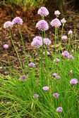 Blooming chive — Stock Photo