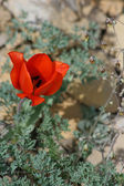 Tulipan dziki — Zdjęcie stockowe