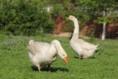 Two geese — Stock Photo