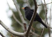 Um ouzel senta-se no galho de árvore — Foto Stock