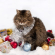 Cat in winter — Stock Photo