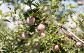 Spraying apples — Stock Photo