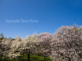 Japanese Cherry Blossoms — Stock Photo