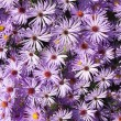 Royalty-Free Stock Photo: Wallpaper of Wild Aster Flowers