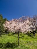 Cherry Tree — Stock Photo