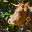 Domesticated brown cow — Stock Photo