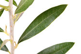 Isolated olive tree branch — Stock Photo