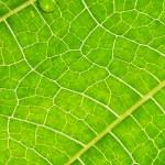Постер, плакат: Macro leaf veins