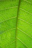 Macro leaf veins — Stock Photo