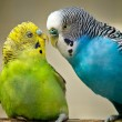 Two budgerigar birds — Stock Photo