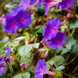 Purple morning glory flowers — Foto de stock #8939750