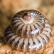 Millipede in defensive position — Stock Photo