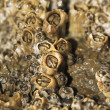 Colony of barnacles — Stock Photo