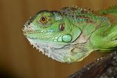 Iguana lizard — Stock Photo
