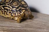 Leopard tortoise — Stock Photo