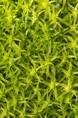 Moss plants — Stock Photo