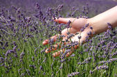 Hand brushing lavender flowers — Stock Photo