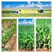 Collage of maize on the field - Stock Photo