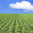 Potato field against blue sky and clouds - Stock Photo