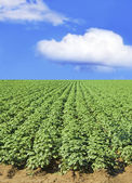 Potato field against blue sky and clouds — Stock Photo