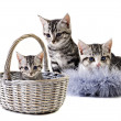 Adorable little kittens from the same litter — Stock Photo