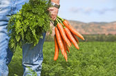 Carrot farmer in a carrot field on a farm — Stock Photo