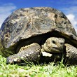 Mature tortoise walking on grass - Stock Photo