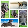 Stock Photo: Collage of photos of great dane dog