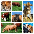 Royalty-Free Stock Photo: Collage of cattle on the field