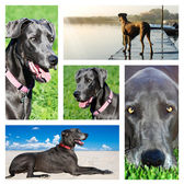 Collage of photos of a great dane dog — Stock Photo