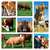 Collage of cattle on the field — Stock Photo