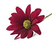 Deep red chrysanthemum flower on a pure white background with space for text — Stock Photo