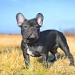French bulldog puppy — Stock Photo