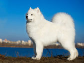 Beautiful samoyed dog — Stock Photo
