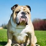 English Bulldog in a grass — Stock Photo #9628082