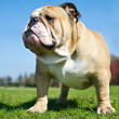 English Bulldog in a grass — Stock Photo