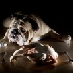 English bulldog with raw chicken — Stock Photo #9656155