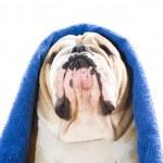 Bulldog in a towel — Stock Photo #9656418