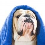 Bulldog in a towel — Stock Photo #9656434