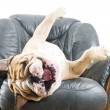 Happy lazy dog Bulldog on a sofa — Stock Photo #9656801