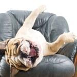 Happy lazy dog Bulldog on a sofa — Stock Photo #9656801